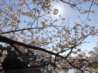 空,花,春,屋外,太陽,樹木,福岡,草木,桜の花,舞鶴公園,さくら,太陽と桜