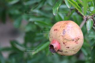 木の実,ザクロ,柘榴,食欲の秋