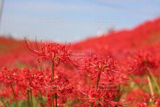 空,花,秋,赤,青,彼岸花,曼珠沙華,秋空,半田市