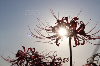 空,花,秋,夕日,赤,綺麗,夕焼け,写真,彼岸花,曼珠沙華,半田市