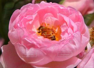 桃色の籠の写真・画像素材[844276]