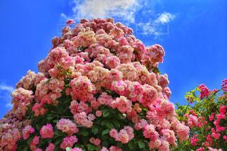 バラのタワーの写真・画像素材[844279]