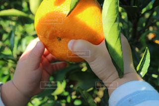 手,フルーツ,果物,赤ちゃん,みかん,ミカン,みかん狩り,ミカン狩り