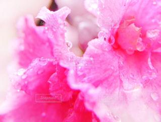 アザレアの花の写真・画像素材[813875]