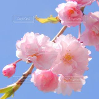 八重桜と青空の写真・画像素材[1107129]