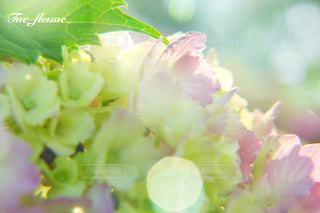 花,紫陽花,雨上がり,梅雨,6月,ふんわり,ピンク色,庭の花