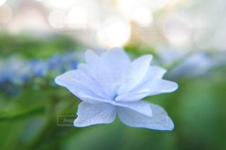 花,紫陽花,ブルー,雨上がり,梅雨,6月,ふんわり,lovely,庭の花