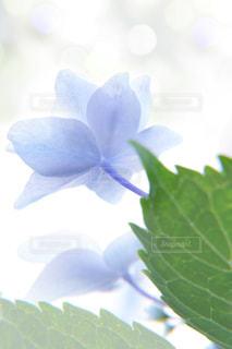 花,光,紫陽花,ブルー,雨上がり,梅雨,6月,ふんわり,lovely,庭の花