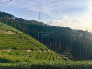 自然,屋外,京都,山,樹木,茶畑,日本茶