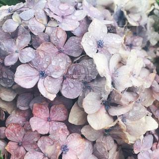 自然,花,雨,紫陽花,梅雨