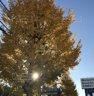 空,秋,黄色,イチョウ,街路樹,秋の空,イチョウ並木,フォトジェニック,秋色,陽ざし