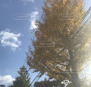空,秋,黄色,イチョウ,秋晴れ,街の景色,街路樹,秋空,秋の空,イチョウ並木,フォトジェニック,陽ざし