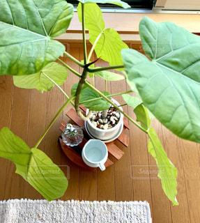 緑,元気,未来,観葉植物,グリーン,夢,成長,ポジティブ,インテリアグリーン,可能性,ウンベラータ