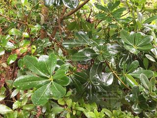 緑の葉の木の写真・画像素材[845781]