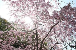 自然,桜,光