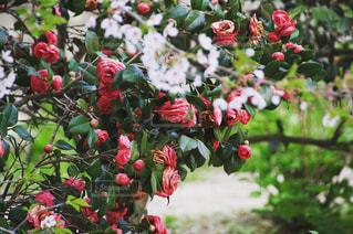 自然,光,薔薇