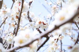 さわやかな梅の香りに包まれての写真・画像素材[815617]