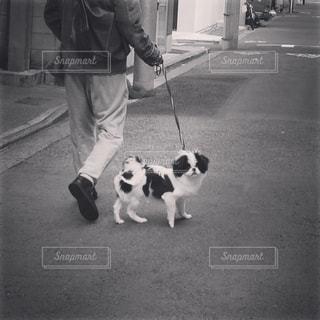 お散歩中にふと振り返る白黒の子犬(狆)の写真・画像素材[815280]