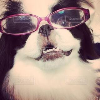 メガネをかけた白黒の犬(狆)の写真・画像素材[3646447]