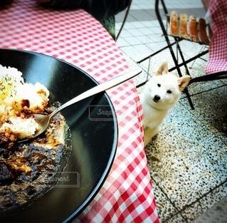 きのこビーフカレーを見つめる、食欲旺盛な白柴犬の写真・画像素材[3753117]