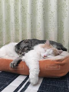 猫,動物,ペット,クッション,人物,お昼寝,ネコ