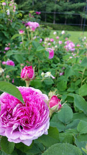 近くの花のアップの写真・画像素材[814806]