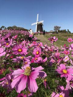 空,屋外,ピンク,紫,風車,お花,鮮やか,コスモス畑,草木,眺め,インスタ映え