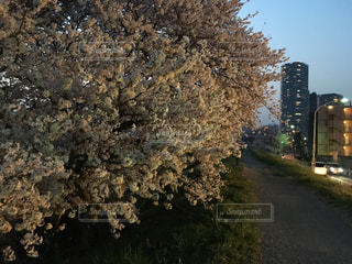 多摩川の夜桜とビルの写真・画像素材[1122513]