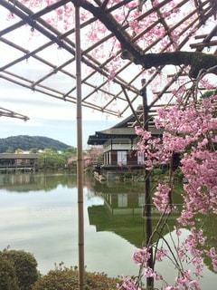 平安神宮 枝垂れ桜の写真・画像素材[1122523]