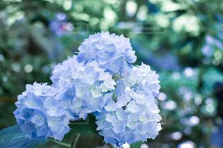 緑,植物,青,観光地,景色,光,紫陽花,新緑,日本,梅雨,寺