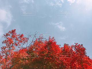 曇り青空の前に木の写真・画像素材[875710]