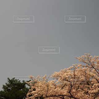 桜と空の写真・画像素材[1131643]
