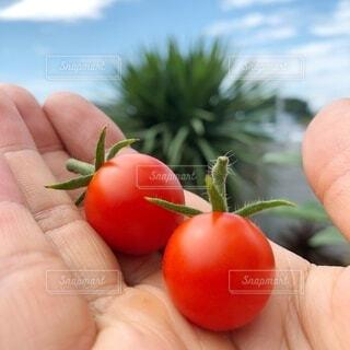 食べ物,空,手,トマト,野菜,ミニトマト,食品,家庭菜園,食材,フレッシュ,ベジタブル,とれたて野菜