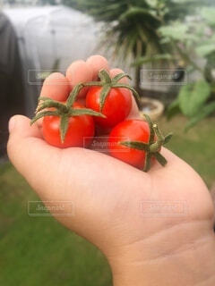 食べ物,赤,手,子供,トマト,野菜,ミニトマト,食品,家庭菜園,プチトマト,食材,フレッシュ,ベジタブル,子供の手,チェリートマト,とれたて野菜,プラムトマト,ブッシュトマト,とれたてトマト