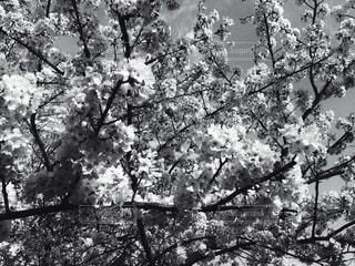 モノクロの桜の写真・画像素材[818746]