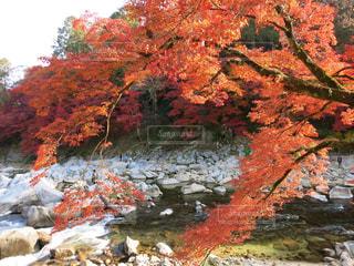 香嵐渓の写真・画像素材[874597]