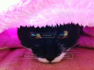 ピンクのひざかけの下にもぐる猫です。の写真・画像素材[876527]