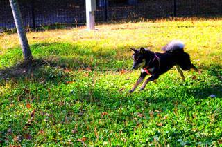 草の中を走っている黒犬の写真・画像素材[997974]