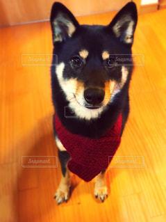 カメラを見て小さな黒い犬の写真・画像素材[997983]