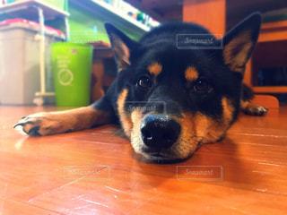 テーブルの上に座って、茶色と黒犬の写真・画像素材[997991]