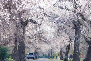 桜,散歩,車,樹木,お花見,枝垂れ桜,多磨霊園,満開の桜,東京都桜百景