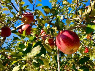 木からぶら下がってりんごの写真・画像素材[899884]