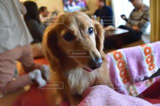 カメラを見て犬の写真・画像素材[980503]