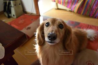 テーブルの上に座っている犬の写真・画像素材[980506]