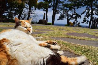芝生に横たわる猫の写真・画像素材[980508]
