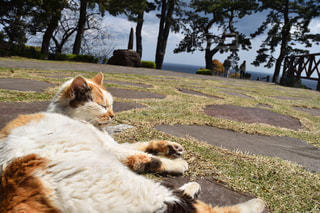 芝生に横たわる猫の写真・画像素材[980509]