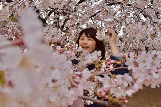桜まみれの写真・画像素材[987427]
