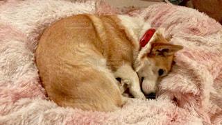 ベッドの上で横になっている茶色と白犬の写真・画像素材[1186652]