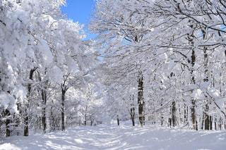 雪に覆われた木の写真・画像素材[1732269]