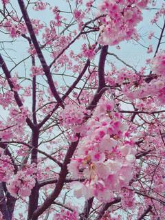 木の上のピンクの写真・画像素材[1791672]